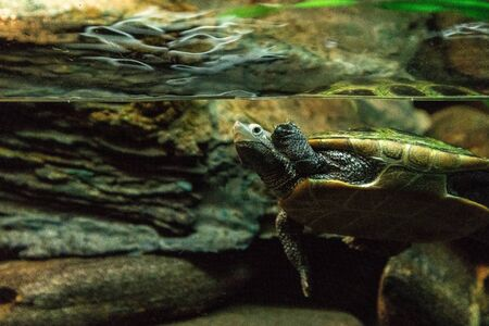 Diamondback terrapin Malaclemys terrapin turtle with a long neck peers curiously from the water.
