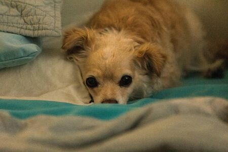 Spoiled sulky long haired Chihuahua snuggled in a human bed with blue sheets.