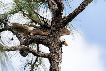 Launching Bald eagle Haliaeetus leucocephalus bird of prey gets ready to fly in Fort Myers, Florida