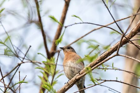 Female eastern bluebird Sialia sialis perches on a branch high in a tree and looks down in Sarasota, Florida