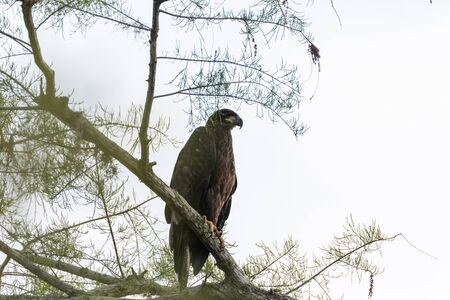 Juvenile bald eagle Haliaeetus leucocephalus  bird of prey perches on a branch above a swamp in Naples, Florida 版權商用圖片