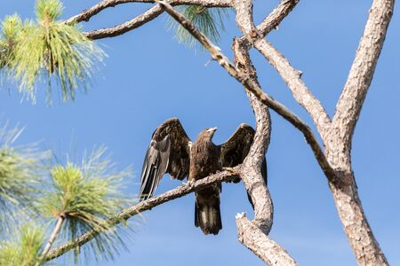 Take off of Juvenile bald eagle Haliaeetus leucocephalus  bird of prey from a branch above a swamp in Naples, Florida