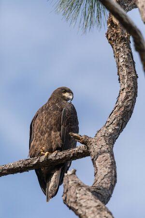 Juvenile bald eagle Haliaeetus leucocephalus bird of prey perches on a branch above a swamp in Naples, Florida 版權商用圖片