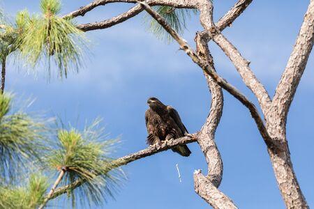 Pooping Juvenile bald eagle Haliaeetus leucocephalus bird of prey perches on a branch above a swamp in Naples, Florida