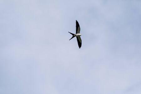 Swallowtail kite Elanoides forficatus flies across a blue sky in Naples, Florida in Winter