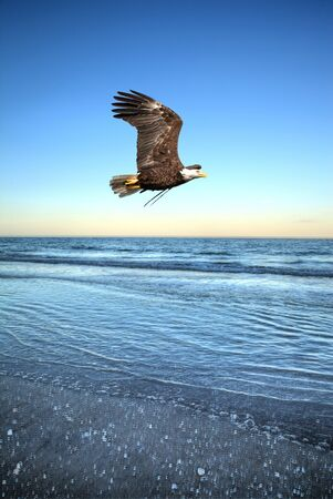 Bald eagle bird of prey Haliaeetus leucocephalus flies over the ocean off the coast of Tigertail Beach, Marco Island, Florida