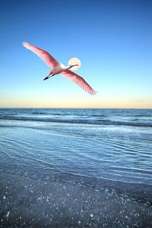 Roseate spoonbill Platalea ajaja flies over the ocean at full moon off the coast of Naples Beach in Naples, Florida.