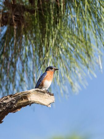 Male eastern bluebird Sialia sialis perches on a branch high in a tree and looks down in Sarasota, Florida Stock Photo