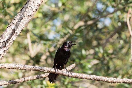 Eastern starling Sturnus vulgaris bird perches high in a tree in Naples, Florida Stock Photo