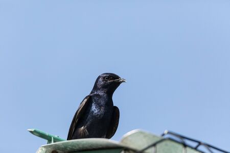 Purple martin birds Progne subis perch around a birdhouse in Marco Island, Florida