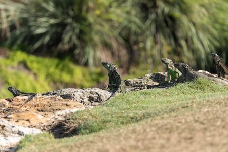 Group of Green Iguanas also known as Iguana iguana bask on a rock in Miami, florida