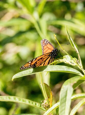 Monarch butterfly, Danaus plexippus, in a butterfly garden on a flower in spring in Southern California, USA