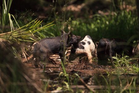 Baby wild hog also called feral hog or Sus scrofa forage for food in Myakka River State Park during the flood season