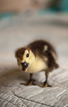 Curious Mottled duckling Anas fulvigula on a blue background in Naple