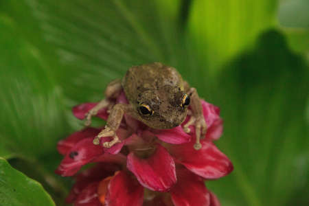 Perched on a Jewel of Burma Ginger flower is a Pinewoods treefrog Hyla femoralis in Naples, Florida Standard-Bild