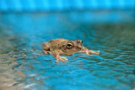 Pinewoods treefrog Hyla femoralis sits on a glass table in Naples, Florida.