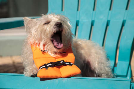 Shouting West Highland Terrier dog in a Halloween costume nautical orange life vest 스톡 콘텐츠