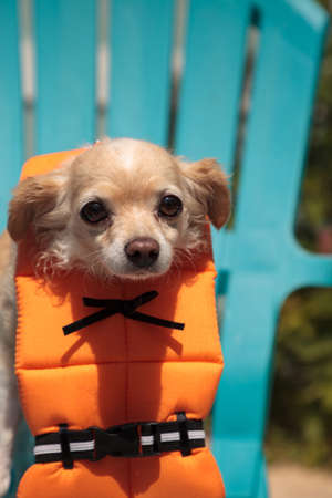 Cute Chihuahua dog in a Halloween costume nautical orange life vest
