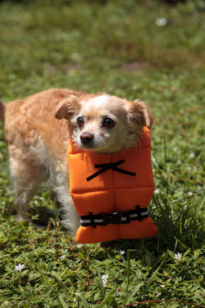 Concerned Chihuahua dog in a Halloween costume nautical orange life vest