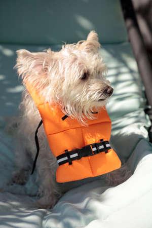 Scruffy West Highland Terrier dog in a Halloween costume nautical orange life vest 스톡 콘텐츠