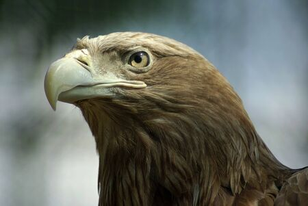 Golden Eagle closeup with blured background