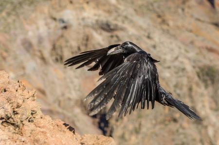 corvo imperiale: Chiudi vista del nero corvo volare