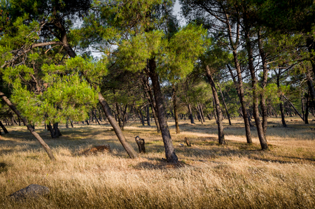 tilted: Coniferous forest with angled trees and sun beams at early morning. Natural parks in Podgorica, Montenegro. Stock Photo
