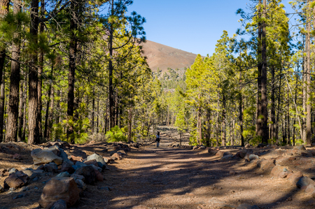 Forests under the mountain of Teide volcano Stock Photo - 114302251