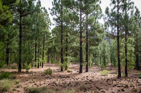 Cone forest at Chinyero circular trekking route. Canary islands, Tenerife, Spain. Stock Photo
