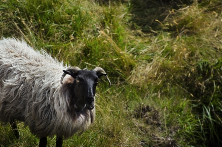 Sheep looking at you, in Ireland photo