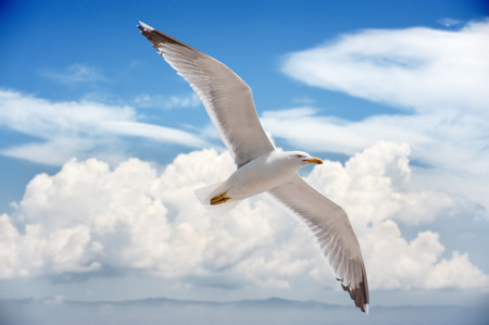 flying bird: Seagull flying high