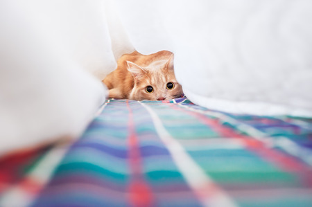 Cat plays under the covers photo