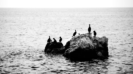 cormorants: Family of cormorants - silhouette Stock Photo