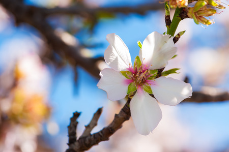 Almond blossoms at full bloom, with soft focus  photo