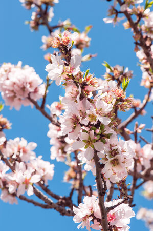 Beautiful almond flowers at full blossom photo