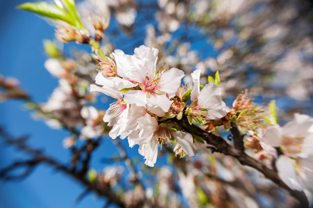 Almond blossoms at full bloom, soft focus  photo