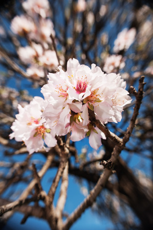 Almond blossoms flowers, with blue sky and other flowers  photo