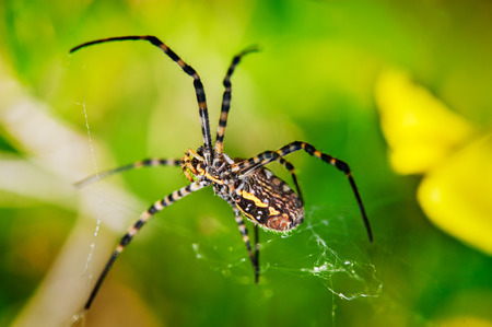 golden orb weaver: A spider in the web Stock Photo