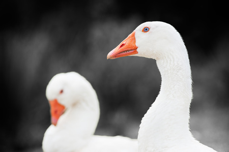 greylag: goose who looks with another in the background Stock Photo