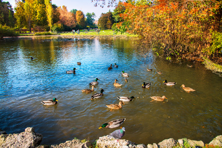 Little pond in autumn populated by ducks and geese