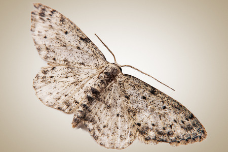 nocturnal: Nocturnal moth at rest