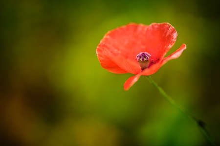 pistil: Completely blurred background with red poppy  minimum depth of field the focus is only on the pistil
