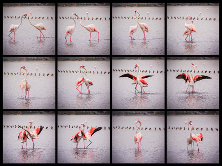 Sequence of 12 photos of fight between two flamingos photo