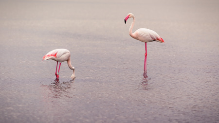 flamingos: Flamingos searching for food