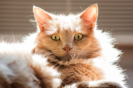 matted: Cat in backlight with matted hair in the sun - focus in the eyes - color version Stock Photo