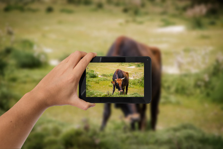 Tablet in hand photo shooting  a brown cow