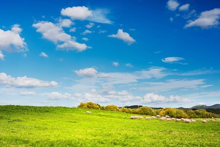 green grass: Sheep grazing in the green of the Sardinian countryside