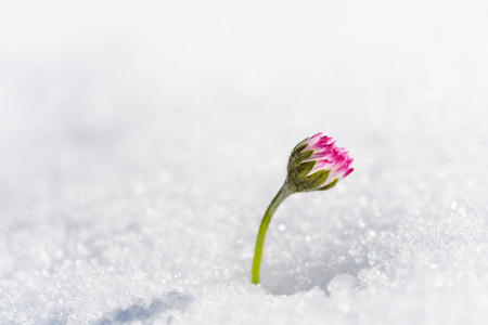 Flower that emerges from the snow