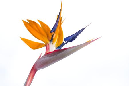 resemblance: Strelitzia reginae, bird of paradise flower isolated in white background