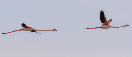 flamingos: Two flamingos flying together Stock Photo